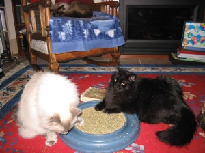 Kemi and Lotus enjoy catnip while Mani enjoys a nap.