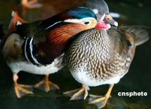 Mandarin Ducks Kissing
