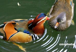 Affectionate Mandarin Ducks
