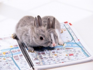 Bunnies Consulting a Map